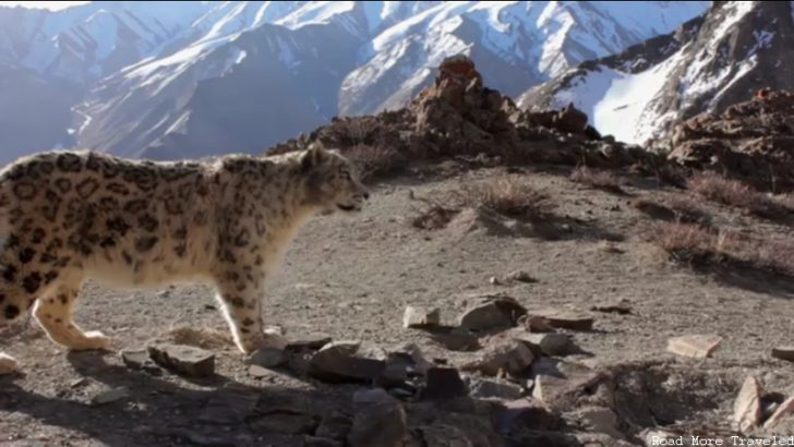 Planet Earth - snow leopard